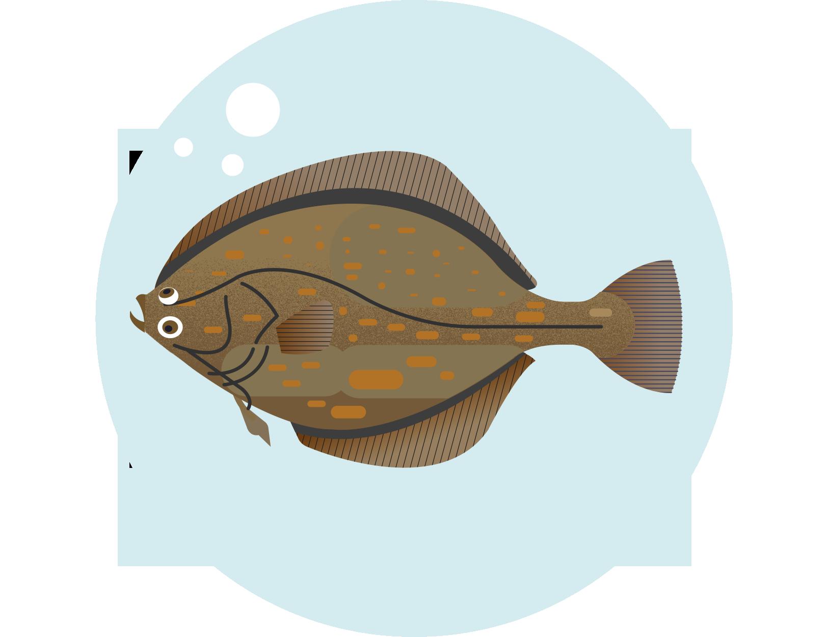 Stornia - Platichthys flesus