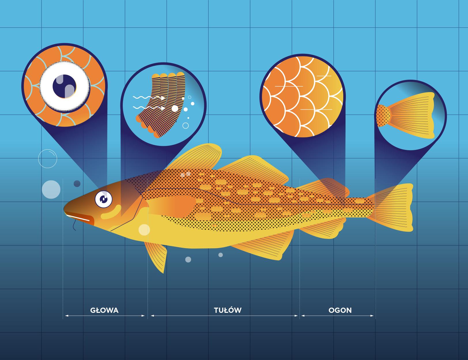 Budowa ryby