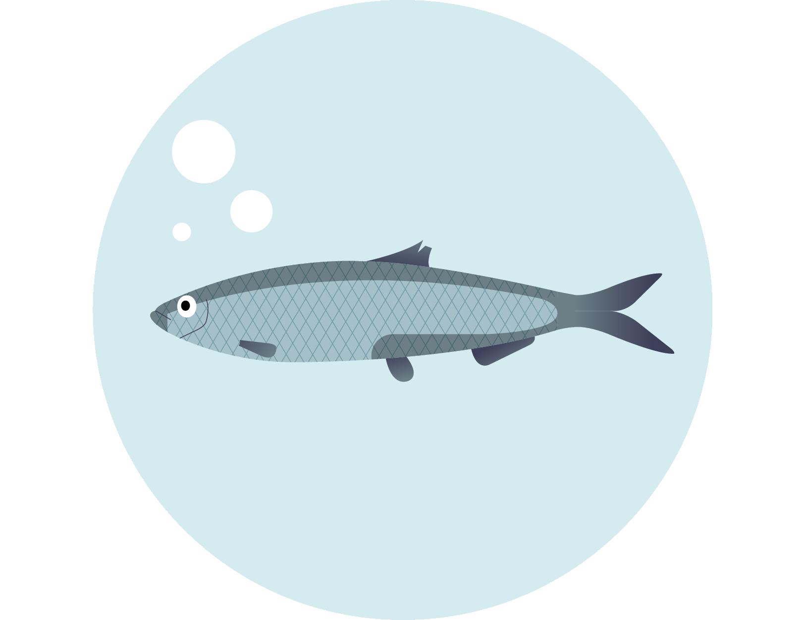 Śledź bałtycki – Clupea harengus membras