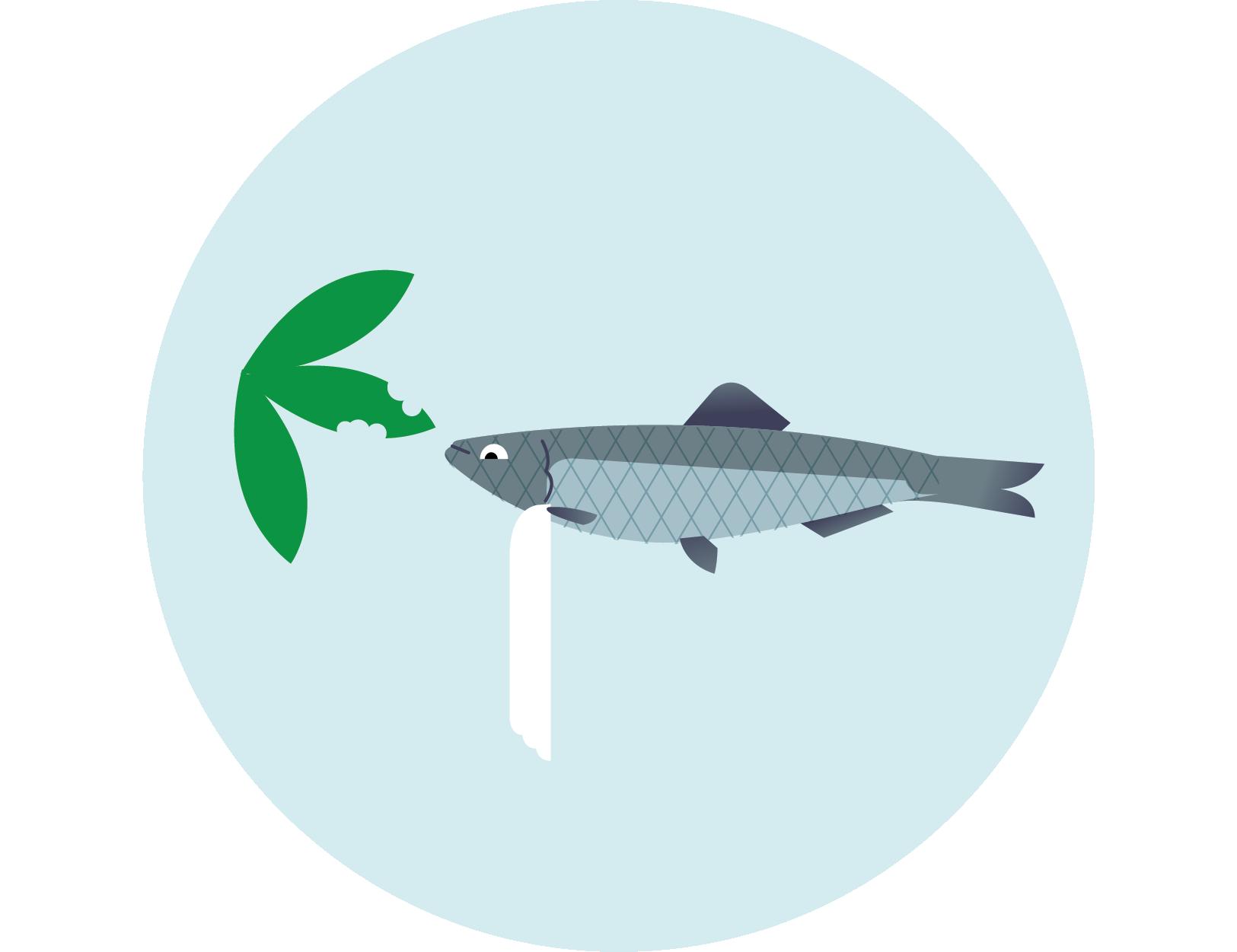 Szprot bałtycki – Sprattus sprattus balticus